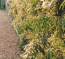 Wonga vine on fence by bobby1