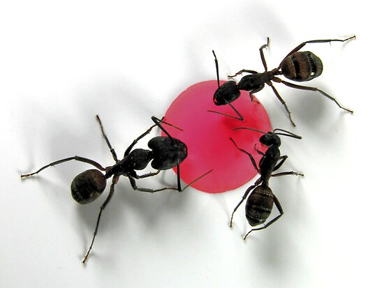 Ants by jimmy hoffman
