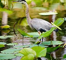 Blue Heron in Lotus, Echo Park CA  by Rachel Rausch Johnson