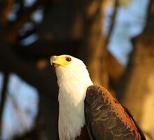 Fish Eagle - Chobe Park, Botswana by Namibia Tours  & Safaris