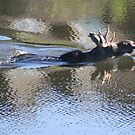 Swimming Moose by PrairieRose