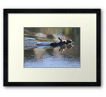Swimming Moose Framed Print