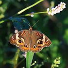 Buckeye Butterfly - Ohio by Tony Wilder