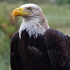 Bold Eagle is not in mood to fly by algill