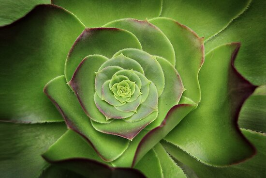 Green Aeonium by Ellen Cotton
