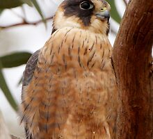 Australian Hobby by Robert Elliott