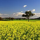 Canola!!! by Petehamilton