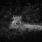 Resting Leopard by Clive  Wilson