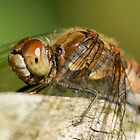 Dragonfly by Moonlake