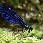 Blue wings Dragonfly #2 by Bonus