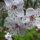 Spring has Sprung...Plum Blossom. by Meg Hart