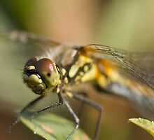 Black Darter Dragonfly - Female by Jon Lees