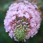 Pink Butterfly Bush by Christina Sauber
