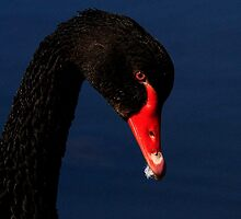 Black Swan by snapdecisions