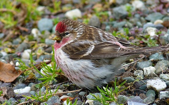 Pretty Boy! - Redpoll - Southland - New Zealand by AndreaEL