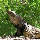 Sonoran Spiny-tailed Iguana ~ 3 (Male) by Kimberly P-Chadwick