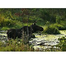 Cow Moose In Bog Photographic Print