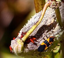 Box Elder Bugs by vigor
