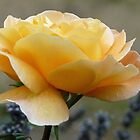 Soft Yellow  Rose by lynn carter