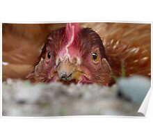 Dust bathing - Red Hen - NZ - Southland Poster