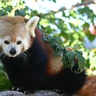 Red Panda by Éilis  Finnerty Warren