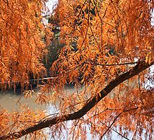 Autumn Tree - Maryborough by pennyswork
