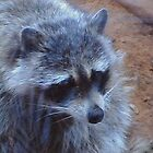 Lovely Raccoon by ANDREW BARKE
