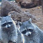 Two Raccoons looking by ANDREW BARKE