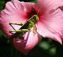 Grasshopper on a Pink Flower by Paulette1021