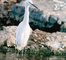 Egret 1 by Forrest  Ray