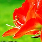 Orange Amaryllis by jerryfrencho
