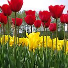 Tall Tulips by LinneaJean