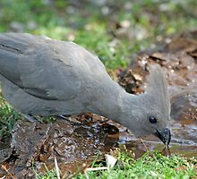 Grey lourie(go-away) bird quenching thirst! by jozi1