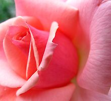 Wild and Wonderful Rose! by MarianBendeth