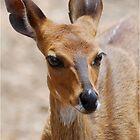 THE ELEGANT BEAUTY OF THE BUSHBUCK MOTHER - Bushbuck – (Tragelaphus scriptus) by Magaret Meintjes