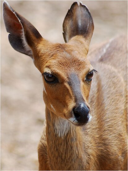 THE ELEGANT BEAUTY OF THE BUSHBUCK MOTHER - Bushbuck – (Tragelaphus scriptus) by Magaret Meintjes