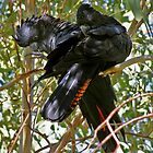 Red-tailed Black Cockatoos by Robert Elliott