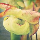 Pitcher Plant Bloom by Jonicool