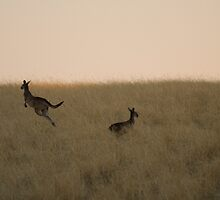 kangaroos at dusk by davejw