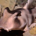 Crested Hornshark outside Sydney Harbour by Erik Schlogl