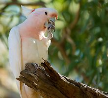 Major Mitchell Cockatoo by bettyb