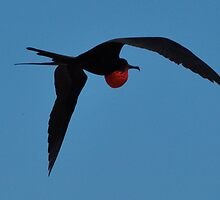 Greater Frigate Bird by Kerry  Cook