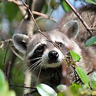 Raccoon in Tree by Jeff Ore