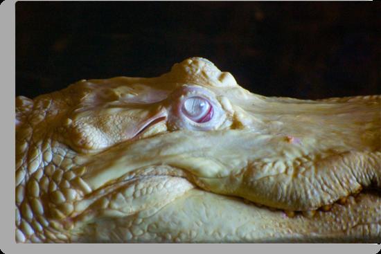 Albino Alligator Up Close by imagetj