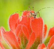 Juvenile Katydid on Indian Paint Brush  by Kate Krutzner