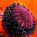 Poppy Head by Jeannette Sheehy