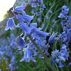 Bluebells - Surrey by BlackhawkRogue