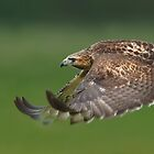 Red tailed Hawk by barnowlcentre