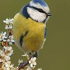 Blue Tit by barnowlcentre