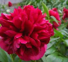Giant Peony - Surrey by BlackhawkRogue